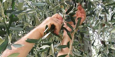 From Lecce: Half-Day Harvest & Milling of the Olives
